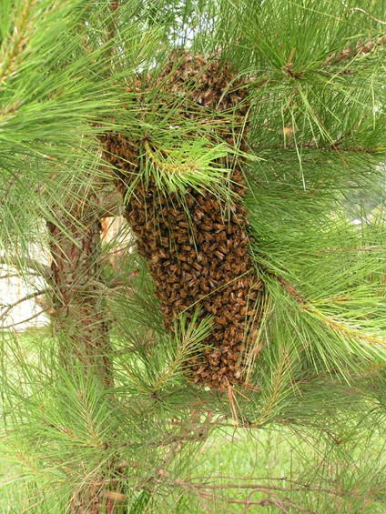On may 10 2009 joyce is ready to shake this large swarm of bees into